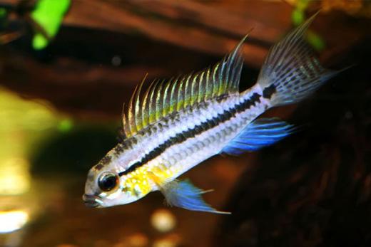 Frisby aquatics community tropical fish for Tropical community fish
